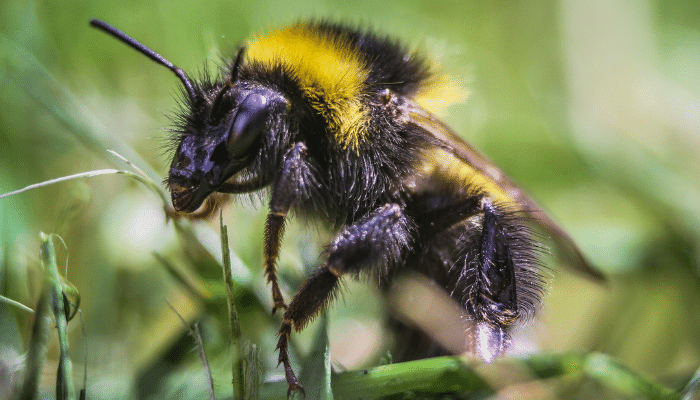 Bee sat on some grass