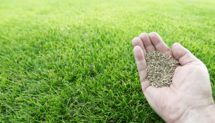 Repairing natural turf with grass seed